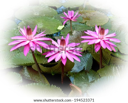 Pink waterlily with large green water leaves
