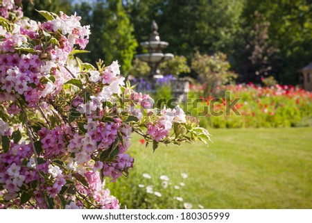 Pink weigela shrub blooming in summer garden with background of flowerbeds and fountain - stock photo