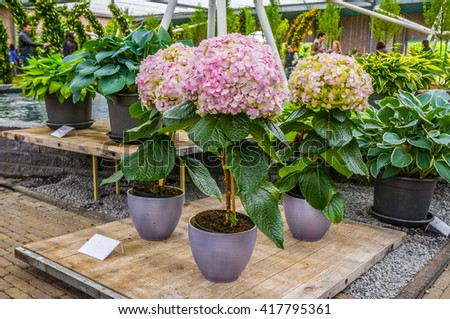 Pink, white and yellow Hydrangea hortensia flowers in pots, Keukenhof Park, Lisse, Holland.