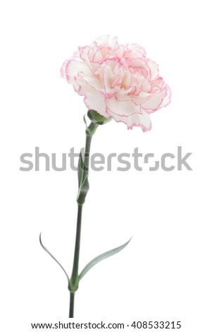 Pink white carnation isolated on white background  - stock photo