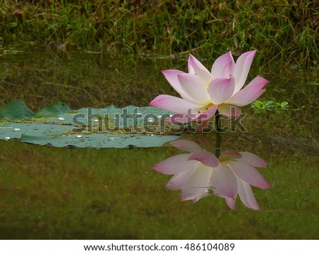 pink-white lotus and reflection