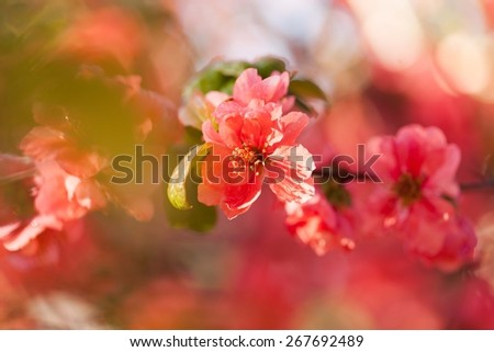 Pink wild roses in soft color, Made with blur style for background. Blurred coral background with flowers.  - stock photo