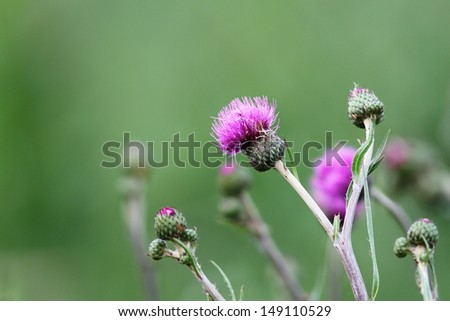 pink wild thistle flower over green blurred background