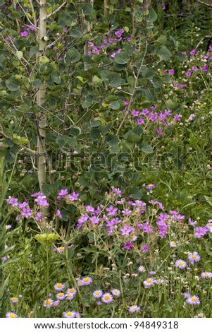Pink Wildflowers and Aspen - stock photo