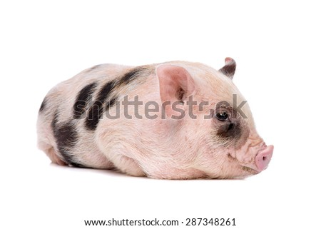 pink with black spots miniature big in front of a white background - stock photo