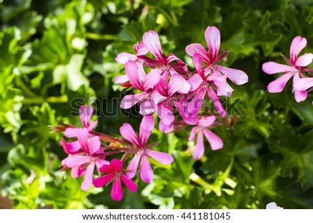 Pink wood sorrel oxalis - stock photo
