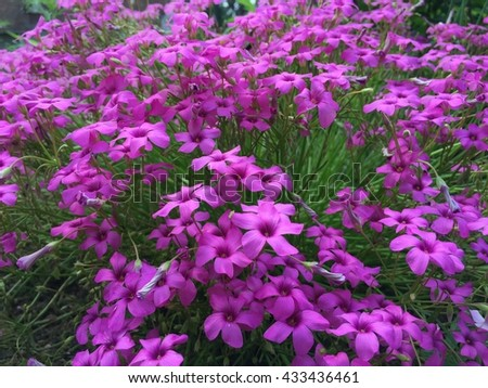 pink wood sorrel , oxalis articulate blooming background in spring - stock photo