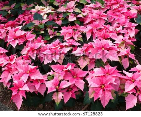 Pink Xmas Flower - stock photo
