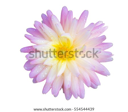 Pink yellow flower on isolate background