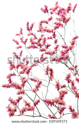 Pink yellow hybrid statice isolated on white background