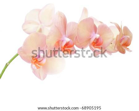 pink yellow orchid on white