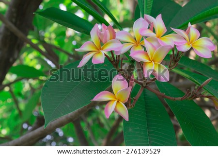 Pink Yellow White Plumeria - stock photo