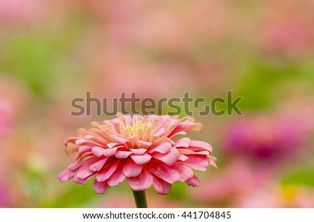 Pink zinnia bloom beautifully . - stock photo