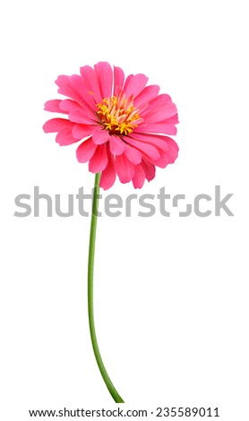 Pink zinnia elegance isolated on white background - stock photo
