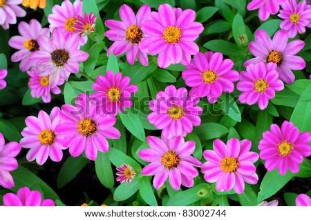 Pink zinnia flower - stock photo