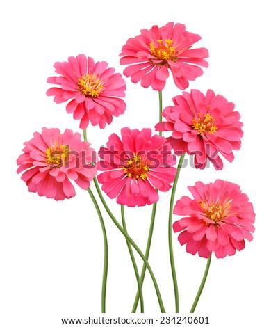pink zinnia flower isolated on white  - stock photo