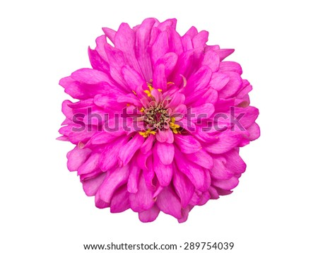Pink zinnia flower isolated on white with clipping path - stock photo