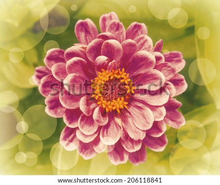 Pink zinnia graphic with lots of bokeh - stock photo