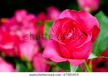 pinky rose in macro shot, Chonburi Thailand - stock photo