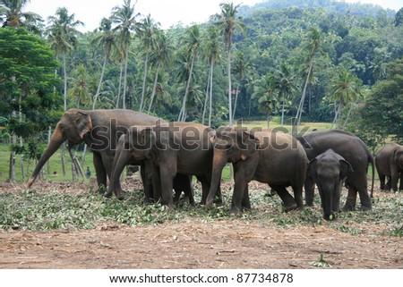 pinnawela elephant orphanage of Sri Lanka - stock photo