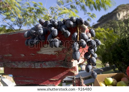 Pinot grapes hanging out of a old wooden bin