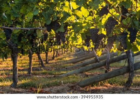 pinot noir grapes in vineyard  - stock photo