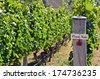 Pinot Noir sign on grape vine in Gibbston valley in Otago, south Island of New Zealand. - stock photo