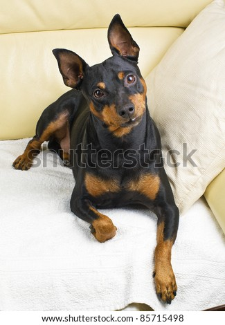 Pinscher dog on the couch - stock photo