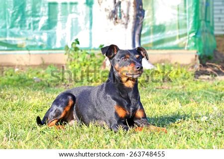 Pinscher dog outdoor. - stock photo