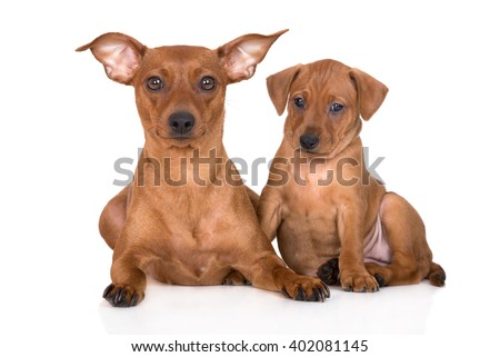pinscher dog with a puppy - stock photo