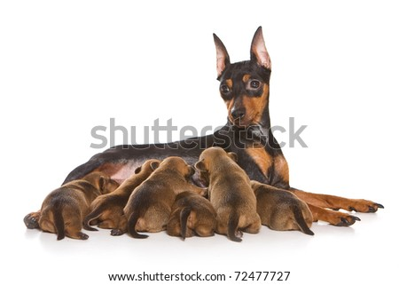 Pinscher family isolated on white - stock photo