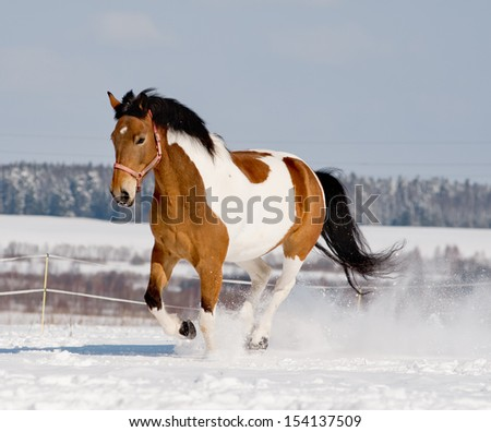 pinto horse running in snow - stock photo