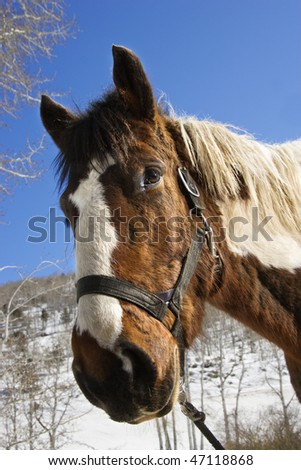 Pinto horse wearing a halter. A snowy landscape is in the background. Vertical shot. - stock photo