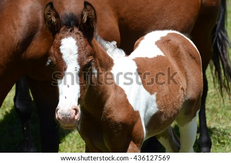 Pinto newborn colt next to his mother and with flies on his nose - stock photo