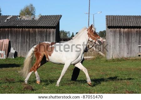 Pinto pony trotting - stock photo