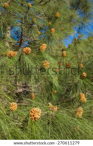 Pinus canariensis, Canarian Pine, male cones in spring - stock photo