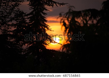 Pinus in the Sunset