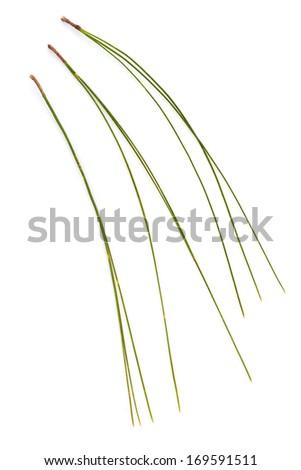 Pinus kesiya leaf isolated on white background - stock photo