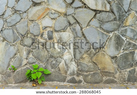 pipal leaf growing through crack in old sand stone wall, for background and survival concept - stock photo