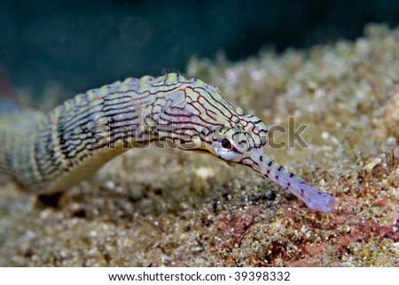 pipe fish - stock photo