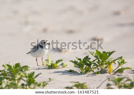 Piping Plover, Charadrius melodus - stock photo