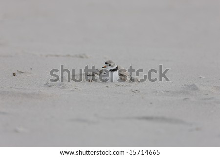Piping Plover (Charadrius melodus), downy juvenile climbing under it's mother on a sandy beach. - stock photo