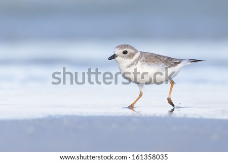 Piping Plover (Charadrius melodus) running along the beach - Fort Desoto, Florida - stock photo