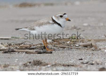 Piping Plover standing on the beach. - stock photo