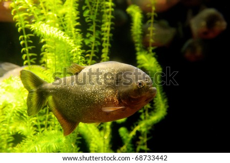 piranha - stock photo
