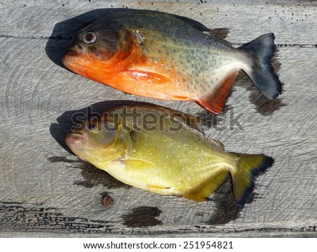 Piranha Caju (Pygocentrus natterery) and yellow (Pygopristis denticu atus) Amazonas, Brazil  - stock photo