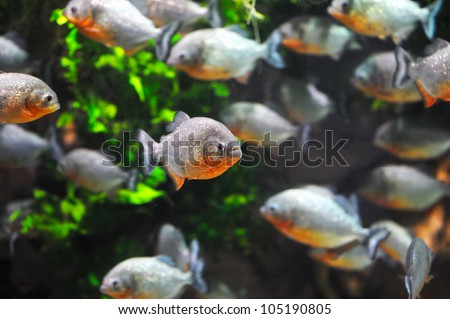 Piranha fish - stock photo