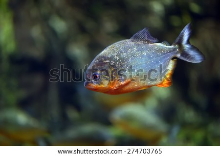 Piranha fish in the waters of the Amazon River - stock photo
