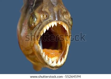 piranha hungry - stock photo
