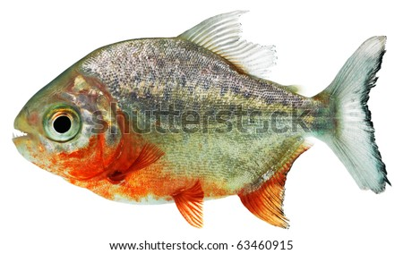 Piranha in front of a white background - stock photo